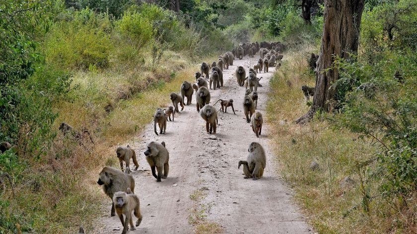 African Safari - baboons could be dangerous!