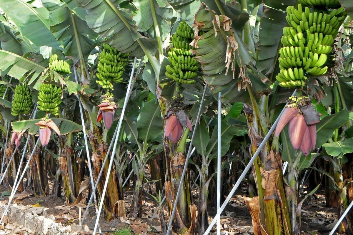 Costa Adeje things to do - banana plantation